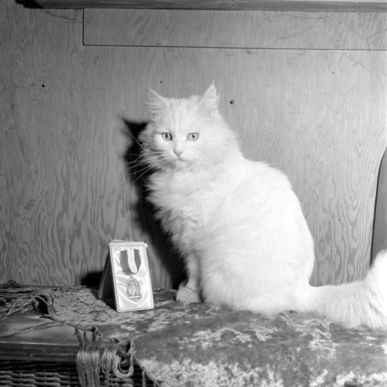 chat persan blanc pose avec sa médaille